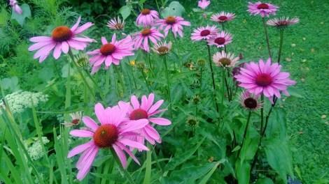 Purpursolhatt er en praktfull sommerstaude som fint kan kombineres med tidligblomstrende stauder og løker