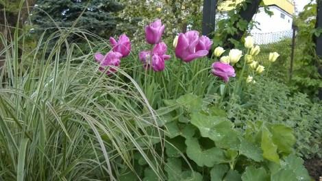 Prydgress og tulipaner er en vakker kombinasjon