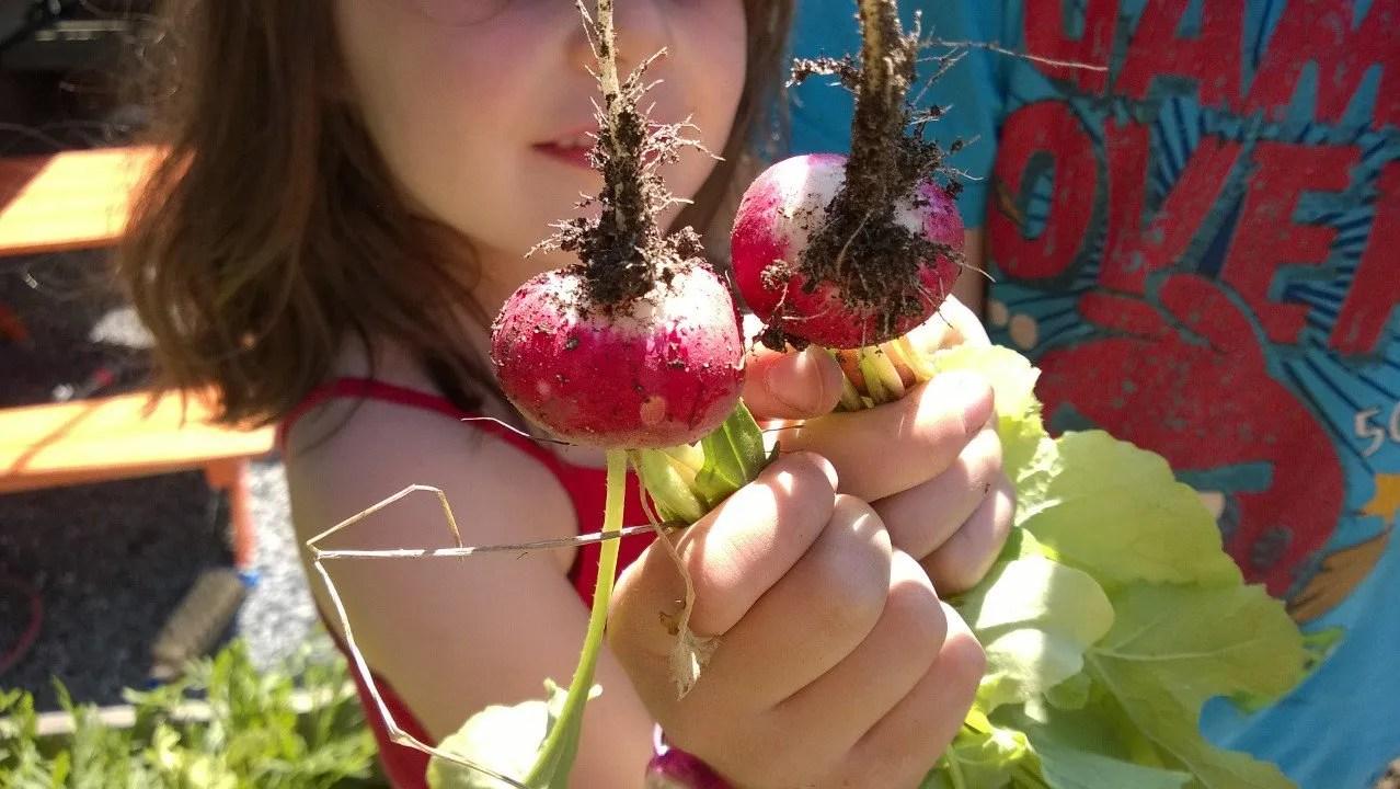 Økologiske reddiker fra egen hage