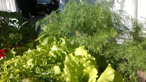 Skjermdill og salat vokser fint sammen