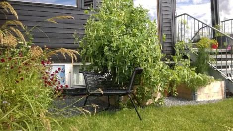 """En stol støtter opp den forvokste sukkerert """"busken"""" som truer med å velte fremover. Oppbindingen vi gjorde før ferien holdt ikke."""