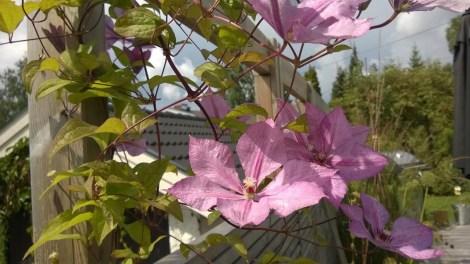 Sommerblomster i krukker