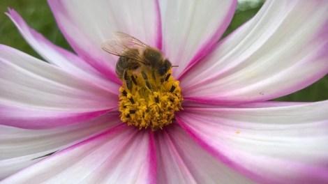 Biene elsker pyntekorg Cosmos bipinnatus