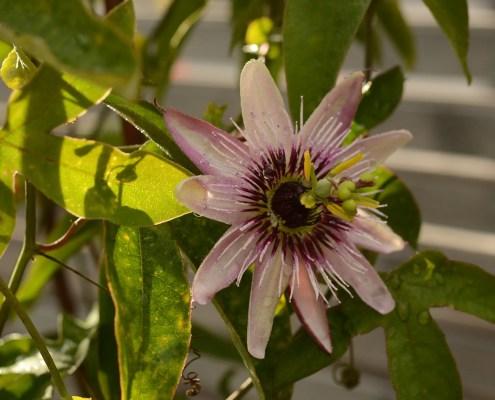 Pasjonsblomst Passiflora x violacea
