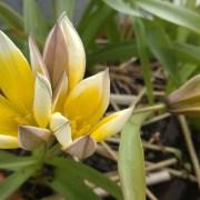 Villtulipan i krukke. Tulipa miscellaneous `Urumiensis`