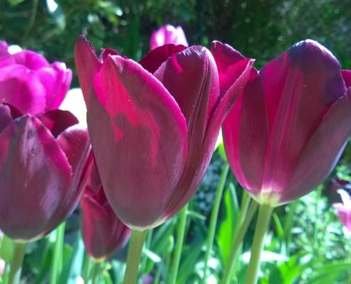 Tulipa `Havran`