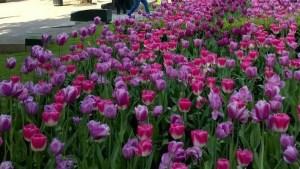 Et hav av tulipaner!