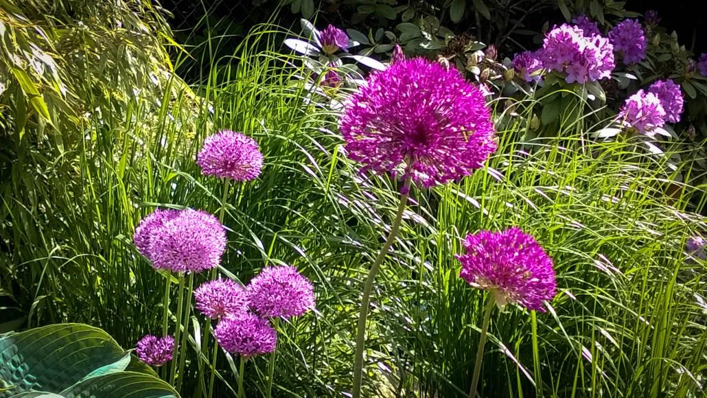 Allium hjelper mot rådyr