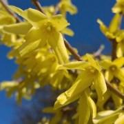 Forsythia i blomst