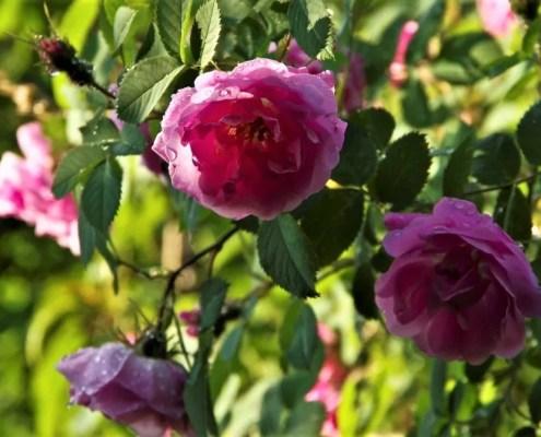 Riktig stell gir vakre roser