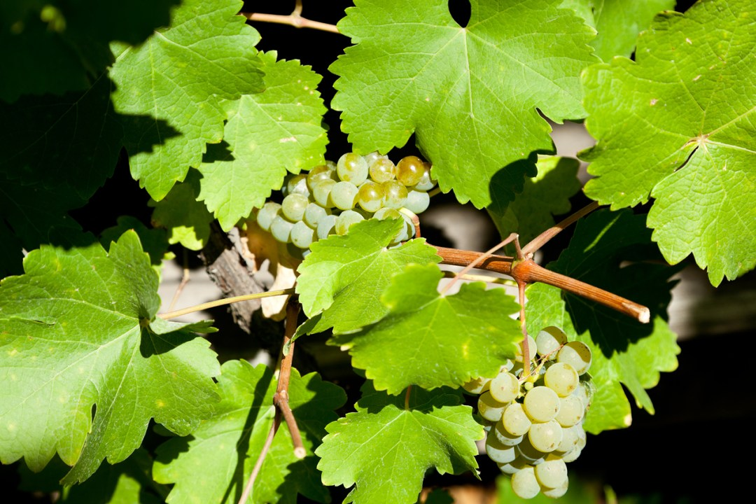 Green grapes on vine in the sun