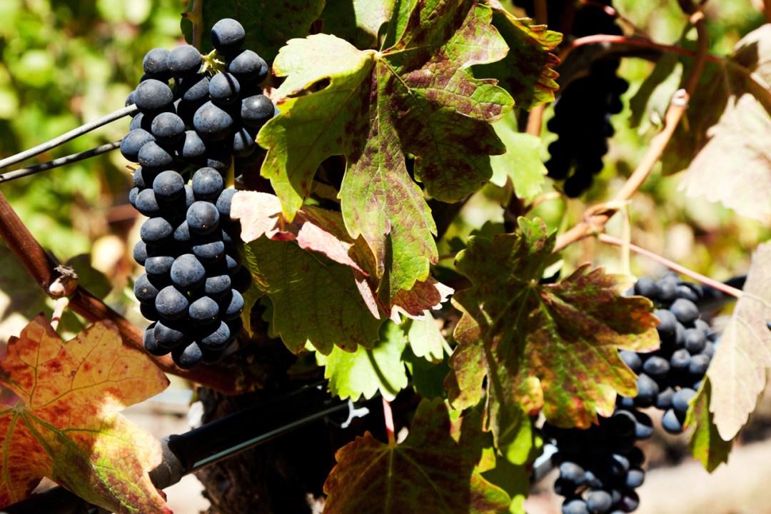 Purple grapes on the vine in the sun