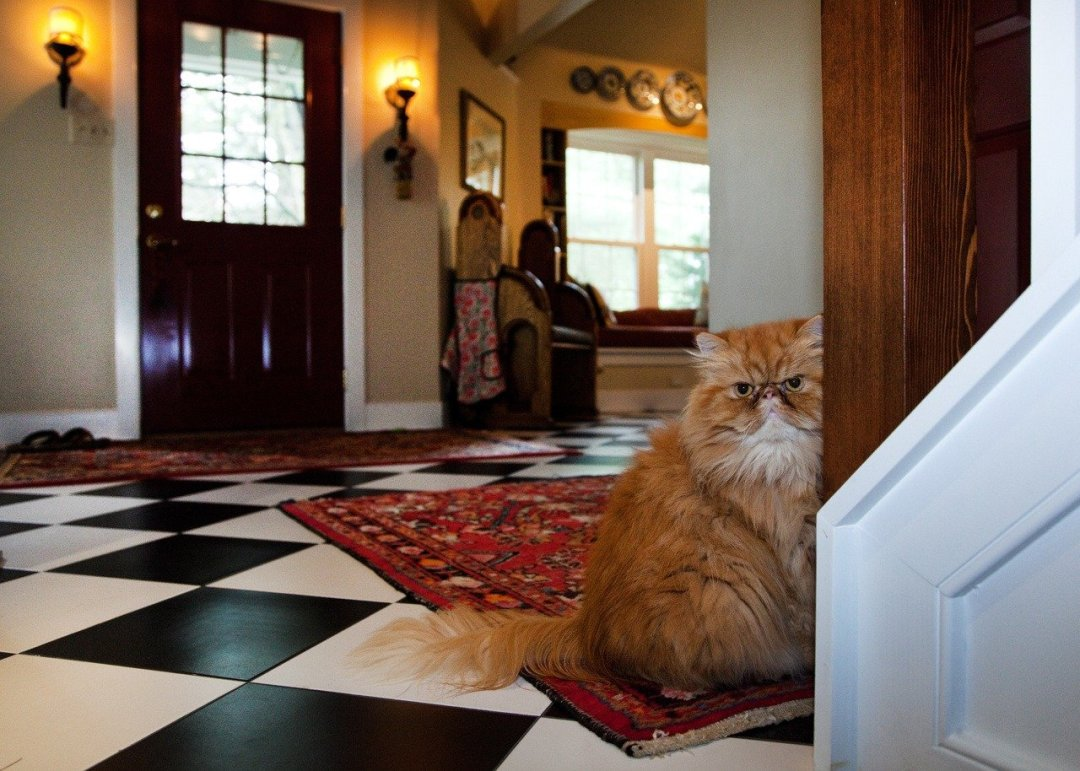 Interior entrance of home with long haired cat looking mean