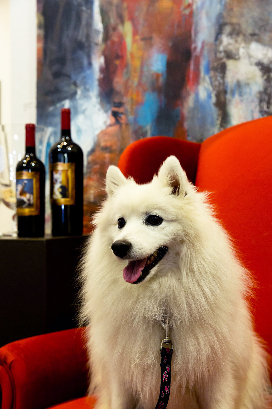 White dog sitting on red chair with 2 bottles of wine in back