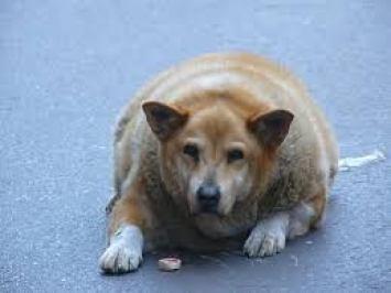 Anjing dan Kuicng Obesitas Tanya Dokter Hewan