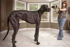 Anjing tertinggi di dunia zeus the great dane tanya dokter hewan