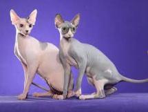 Kucing Pedigree Non Pedigree Sphynx Tanya Dokter Hewan