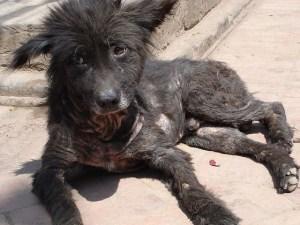 7 hal penyebab dan cara mengobati penyakit kulit demodex pada Anjing