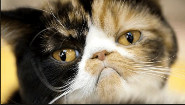 Penyebab Kucing Flu dan Cara Mengobatinya