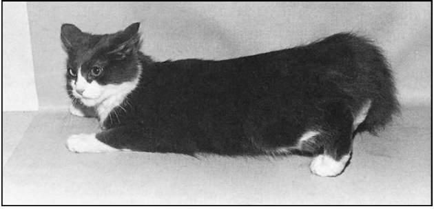 Posisi tubuh kucing saat estrus - tanyadokterhewan.com (Sumber Eldrege 2008)
