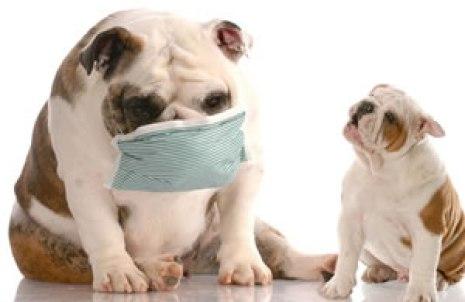 5 Cara Mencegah Kennel Cough (Batuk Pada Anjing)