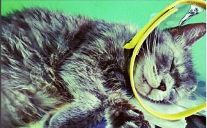 Penggunaan Elizabeth Collar pada kucing