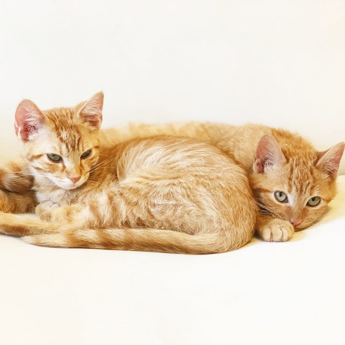Orange Tabby Kittens