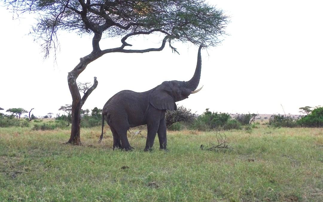 Singita Grumeti Fund | Elephant Collaring Project