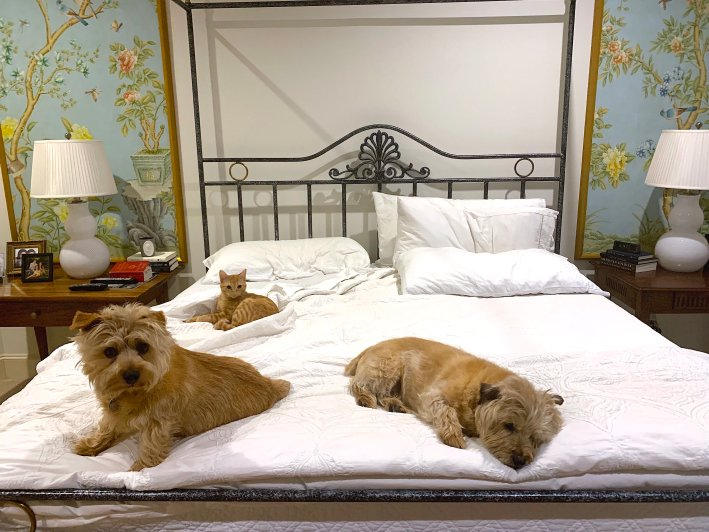 Two Norfolk Terriers and an Orange Tabby Cat
