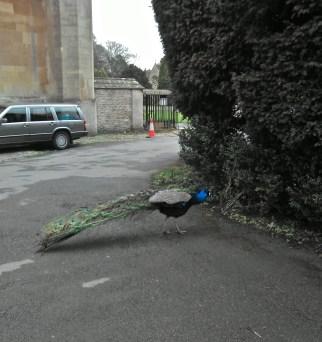 The nosey peacock