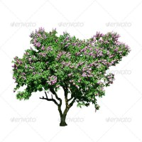 Isolated Lilac (Syringa vulgaris) Tree on White Background - Stock Photo | PhotoDune