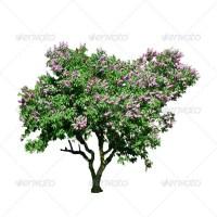 Isolated Lilac (Syringa vulgaris) Tree on White Background - Stock Photo | PhotoDune