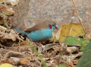 Red Cheeked Cordon Bleu
