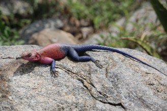 Mwanza Flat Headed Lizard