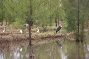 Maribu Stork and Egrets