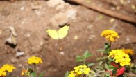 Grass Yellow Butterfly