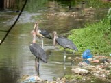 Marabou storks amongst the rubbish bags