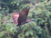 Hamerkop in flight