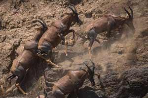 ספארי בטנזניה וקניה – הנדידה הגדולה