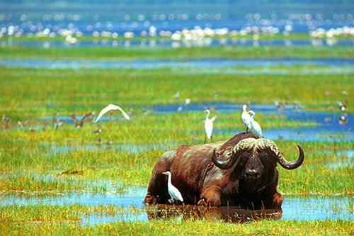 safari tanzanie en promotion authentique et pas cher. Buffle en Tanzanie