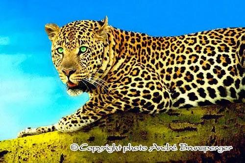 Léopard en Tanzanie