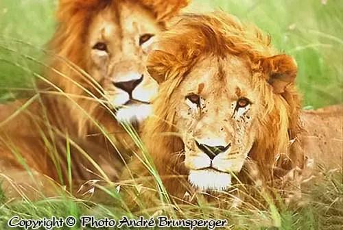 Lions Serengeti Tanzanie. c'est comment un bon safari en Tanzanie ?