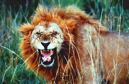 Quels sont les différents types de safaris en tanzanie ? Lion Serengeti Tanzanie