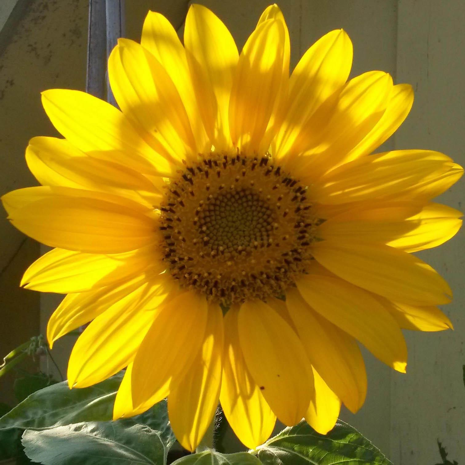 Sonnenblume-Körperzentrum