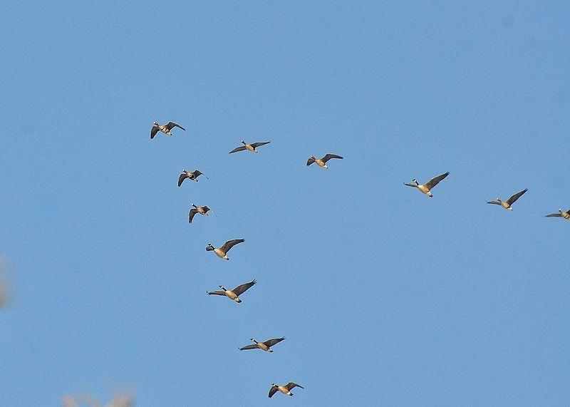 Gänse fliegen in V-Form