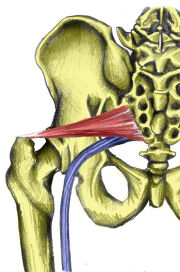 Pelvis with sciatic nerve and piriformis
