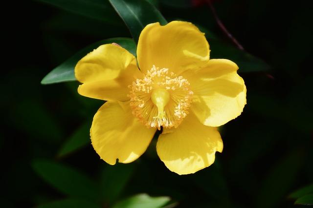 Bachblüten stellen sich vor – Heute: Agrimony
