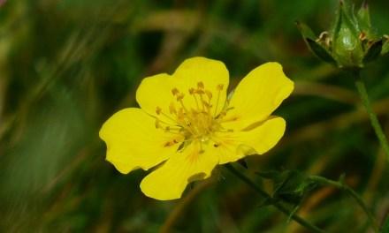 Rock Rose – Bachblüten stellen sich vor
