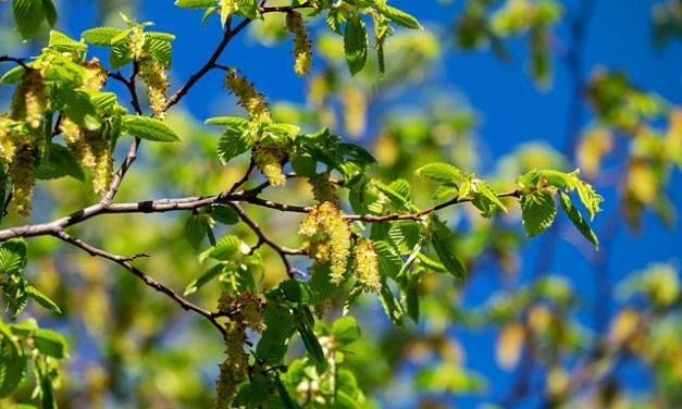 Bachblüten stellen sich vor – Heute: Hornbeam