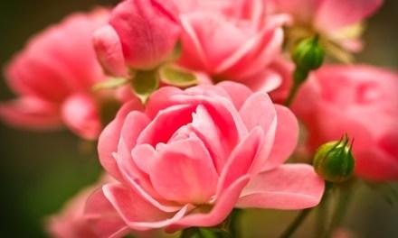 Pflanzenmagie: Die Rose